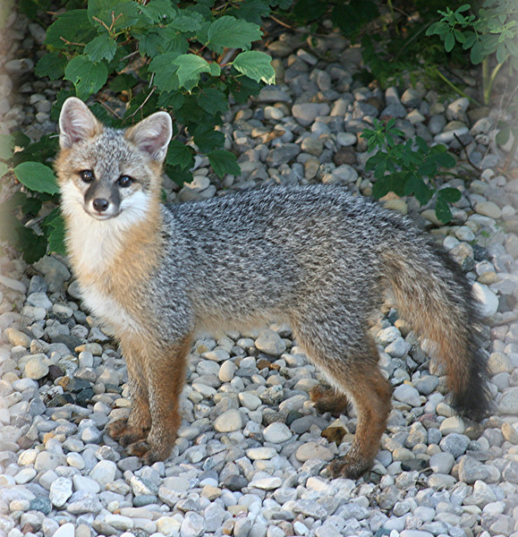 Baby gray foxes - photo#2
