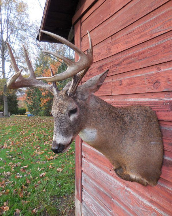 Deer Head Mount >> Aggressive Pose Mount - Taxidermy - Hunting New York - NY ...