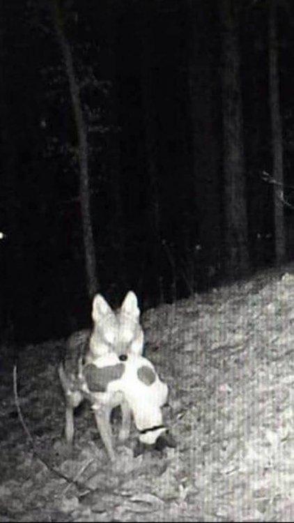 coyotegetsdog.jpg