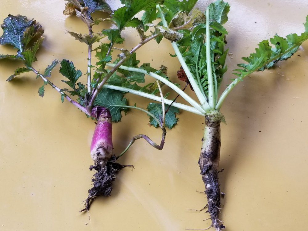 Radish Land Management Food Plots And Qdm Hunting