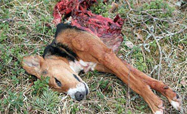 Pet-Dog-Killed-by-Wolves-600x365.jpg